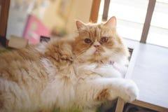 Perski żółty kot, ja robi ślicznym oczom Zdjęcie Royalty Free