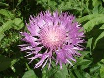 Perski chabrowy fiołkowy kwiat na słonecznym dniu Zdjęcie Royalty Free