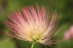 Perski Jedwabniczego drzewa kwiat Zdjęcia Stock