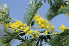 perski jedwabniczy drzewo Zdjęcia Royalty Free