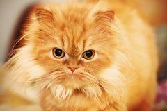 Perski kot Zdjęcie Royalty Free