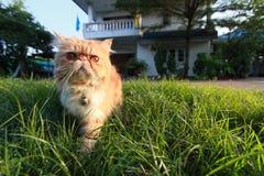 Perski kot Fotografia Royalty Free