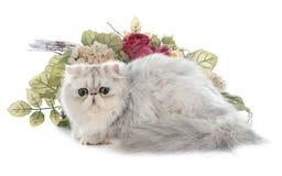 perski kot Obrazy Royalty Free
