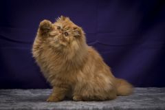 perski kot Zdjęcie Stock