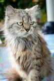 Perski kot - kosmaty śliczny kot Obraz Stock