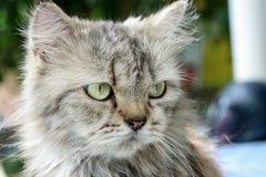 Perski kot - kosmaty śliczny kot Zdjęcie Royalty Free