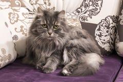 Perski kot na kanapie Zdjęcia Stock