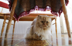 Perski kot pod stołem Zdjęcia Royalty Free