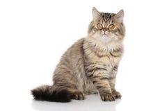 Perski kot przed białym tłem Obrazy Stock