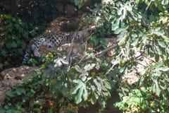 Perski lamparta Panthera pardus saxicolor dosypianie zdjęcie royalty free