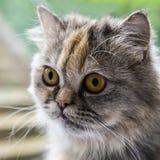 Perski szynszylowy kot obrazy stock
