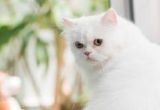 perski white Zdjęcie Stock