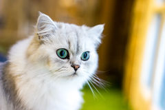 Perskiego kota obsiadanie w pokoju Zdjęcie Royalty Free