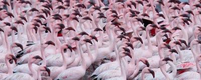 Perso nella folla, moltitudine di fenicotteri, Swokopmund, Namibia fotografia stock libera da diritti