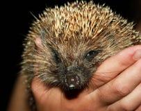 Person African Pygmy Hedgehog en manos imagen de archivo