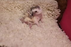 Person african pygmy hedgehog laying on his side on a white carpet royalty free stock images