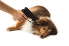 Person aiming handgun on dog Royalty Free Stock Photo