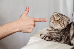 A person in anger pokes the index finger in a frightened cat Scottish Fold. Which is afraid to move stock photography