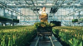 Person arbeitet in einem Glashaus, bewegliche Bündel mit gelben Tulpen stock video