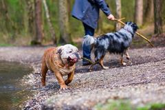 Person with an Australian Shepherd and an English bulldog outdoors Stock Photography