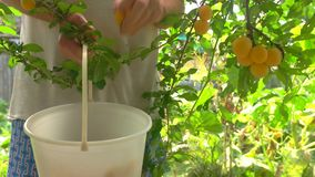 Person with bucket picking fruits. Yellow plums on a branch. Gardener working at midday. Best ingredient for jam stock video footage