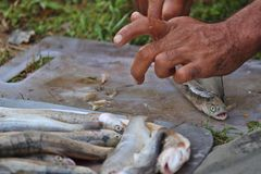 A person cleaning trout fishes for cooking at a campsite royalty free stock photos