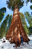 Person enjoying sequoia NP. Person admiring giant sequoia in sequoia national park at winter, tourism concept Stock Image
