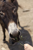 Person feeding donkey Stock Photos