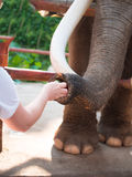 Person feeding the elephant standing behind a fence Royalty Free Stock Images