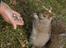 Person feeding gray squirrel. Hand of person feeding Eastern gray or grey squirrel royalty free stock images