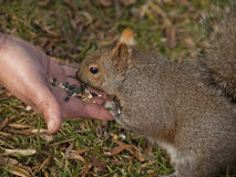 Person feeding squirrel Royalty Free Stock Photos