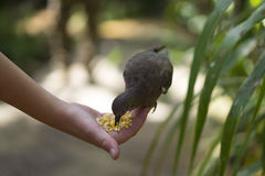 Person feeding a wild bird by hand Royalty Free Stock Image