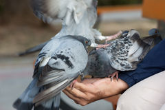 The person feeds pigeons on a hand Stock Photography