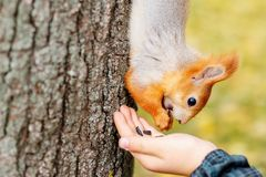 Squirrel eats from the wood in the forest. A man is feeding a sq Stock Photos