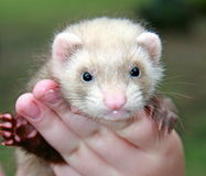 Person with ferret Stock Photos