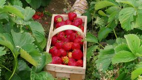 Person hand put down red strawberries to basket in garden
