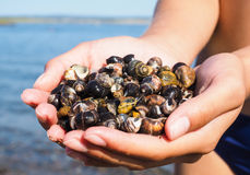 Person with hands full of salt water snails Stock Image