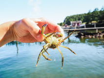 Person holding an alive crab at beach stock photography
