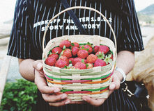 Person Holding Basket of Strawberries Royalty Free Stock Photography