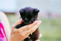 Person holding black kitten with blue eyes. Crop view of hand faceless woman playing with kitten on blurred field background stock photography