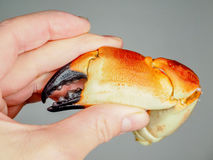 Person holding a boiled crab claw,. Agains grey background royalty free stock photos