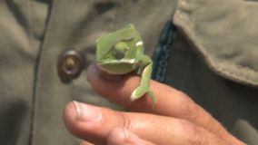 Person holding a bright green Chameleon stock video footage
