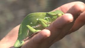Person holding a bright green Chameleon stock footage