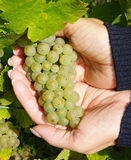 Person holding bunch of grapes Royalty Free Stock Photos