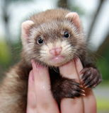 Person holding ferret royalty free stock images