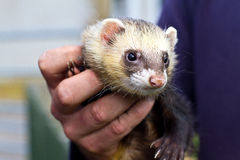 Person holding Ferret Pet. Unknown person holding Ferret pet animal close up Stock Photo