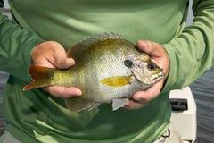 Person holding fresh bluegill. Fish, Lepomis macrochirus Stock Images