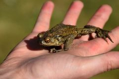 Person holding a green frog. Concept: the frog prince, people searching for an ideal relationship stock photos