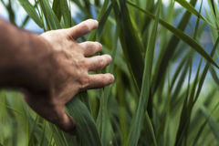 Person Holding Green Tall Grass during Daytime Royalty Free Stock Images