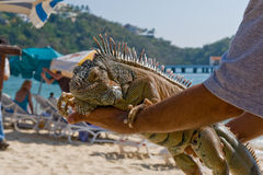 Person holding Iguana on beach. Close up of person holding Iguana, beach resort in background, Huatulco, Mexico Royalty Free Stock Photo